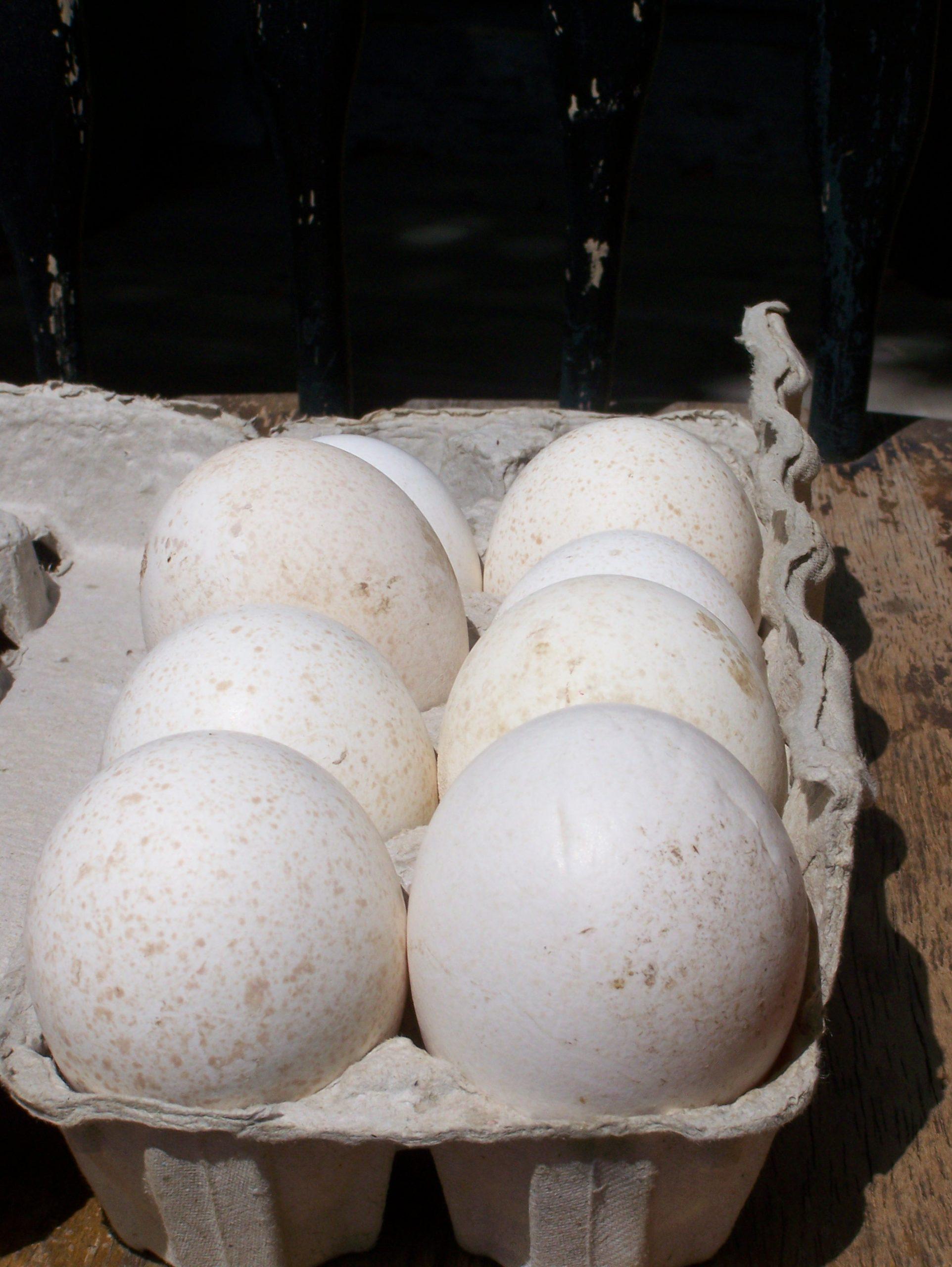 Exploring Chicken, Duck & Turkey Eggs