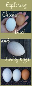 Exploring the various large poultry eggs