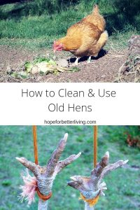 Wondering what to do with your old laying hens? Here's a full on tutorial that will help you decide!