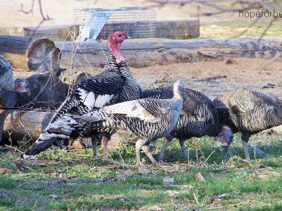 Why Raise Heritage Turkeys?