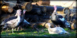 Heritage Turkeys vs Broilers