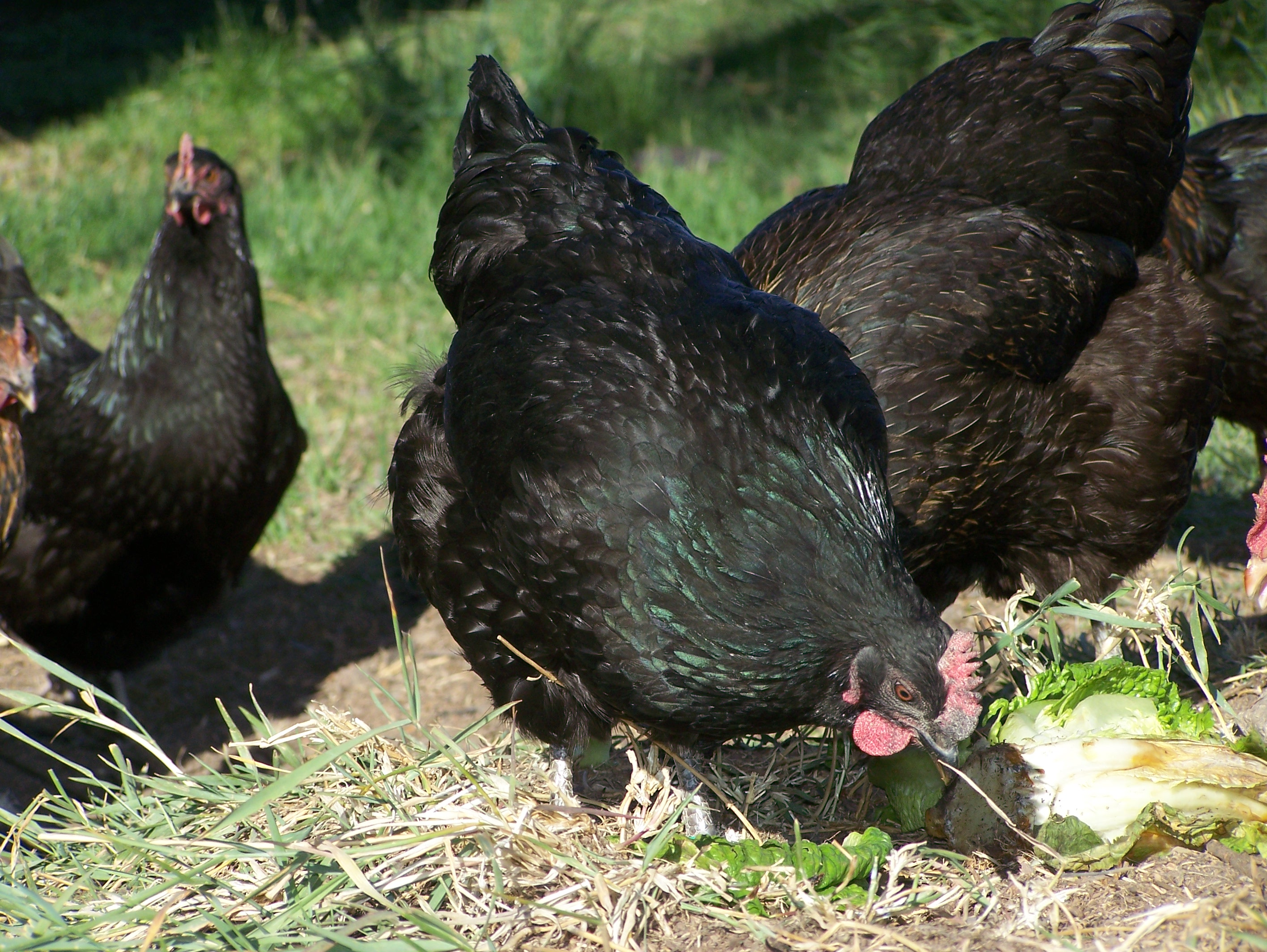 You don't have to raise chickens to butcher them! Cull your neighbor's old hens and use the delicious recipes outlined for you.