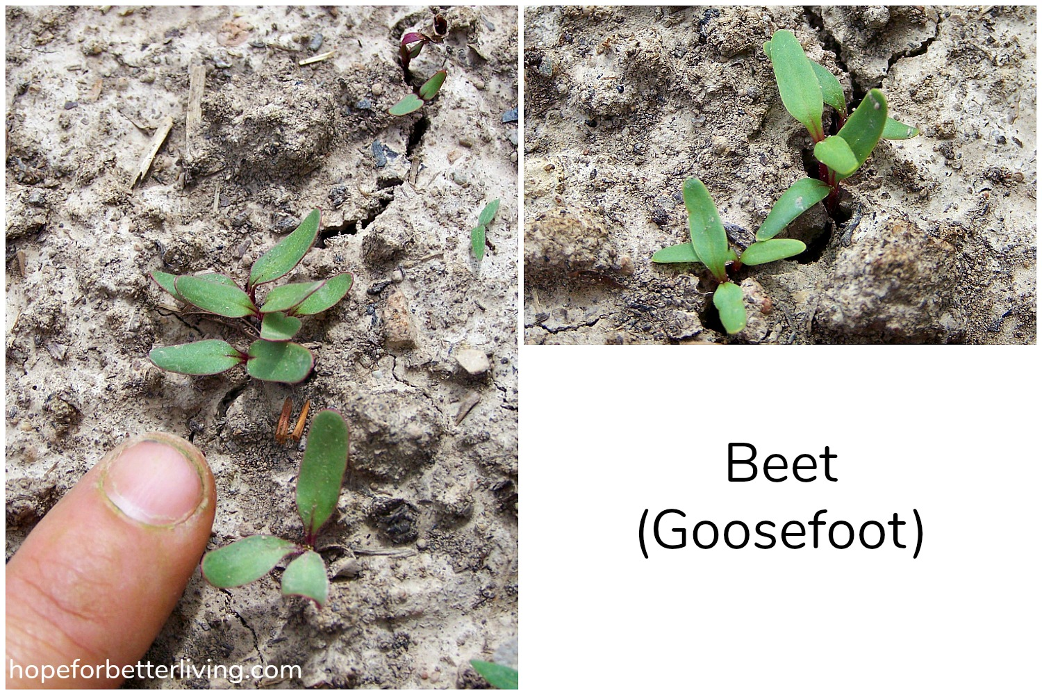 How to Identify Seedlings in the Vegetable Garden