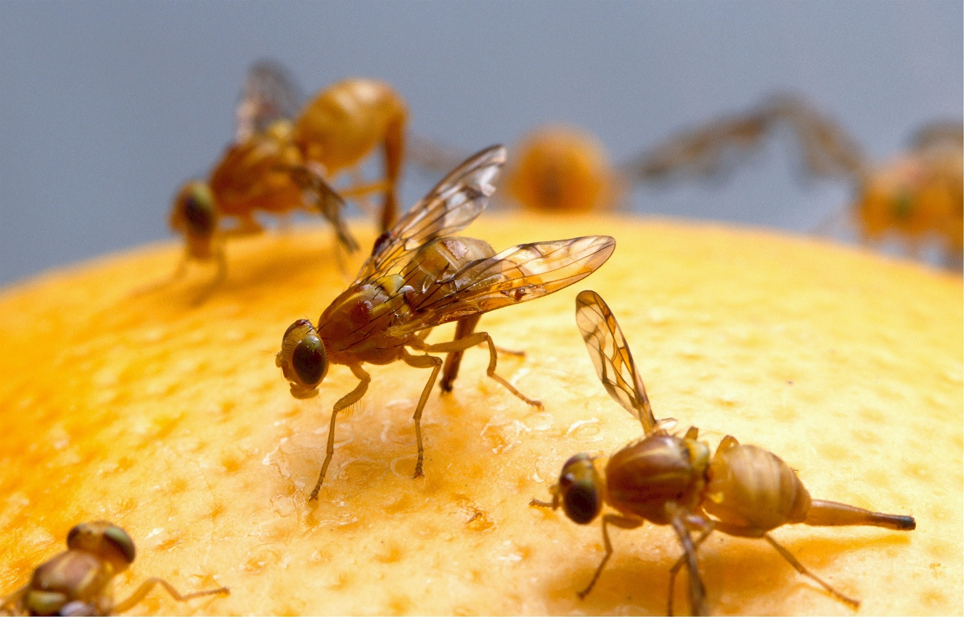 How to Free Your Home of Pesky Fruit Flies
