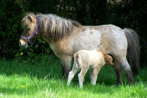 The Basics You Need to Know About Miniature Horses