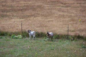 miniature horses grazing on pasture