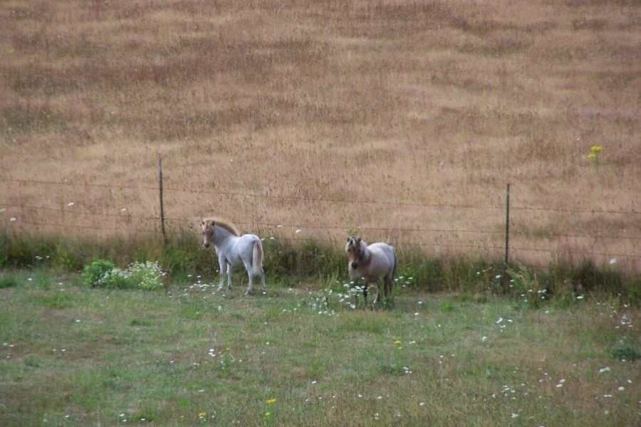 miniature horses grazing on pasture