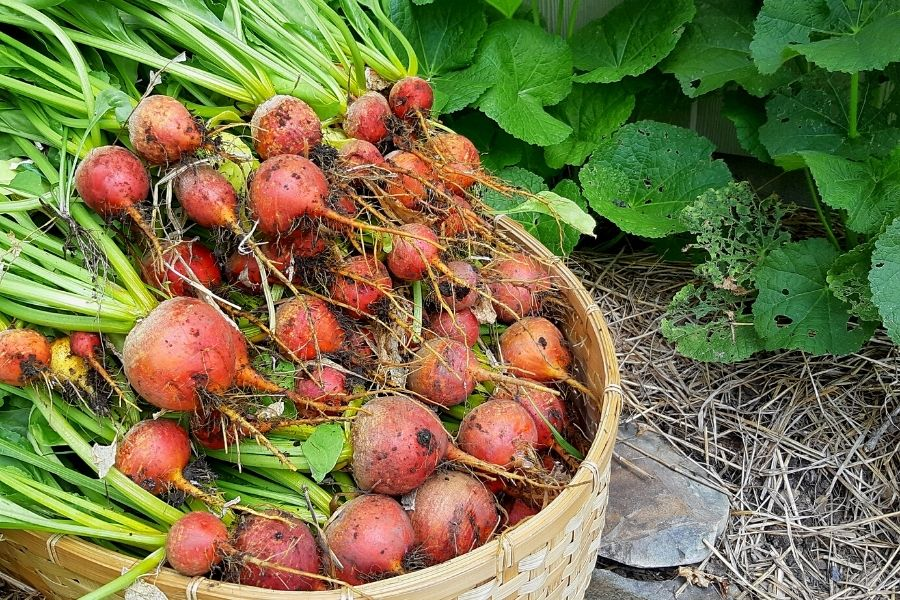 A basket of fresh yellow beets