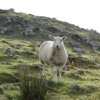 Researching Dairy Sheep