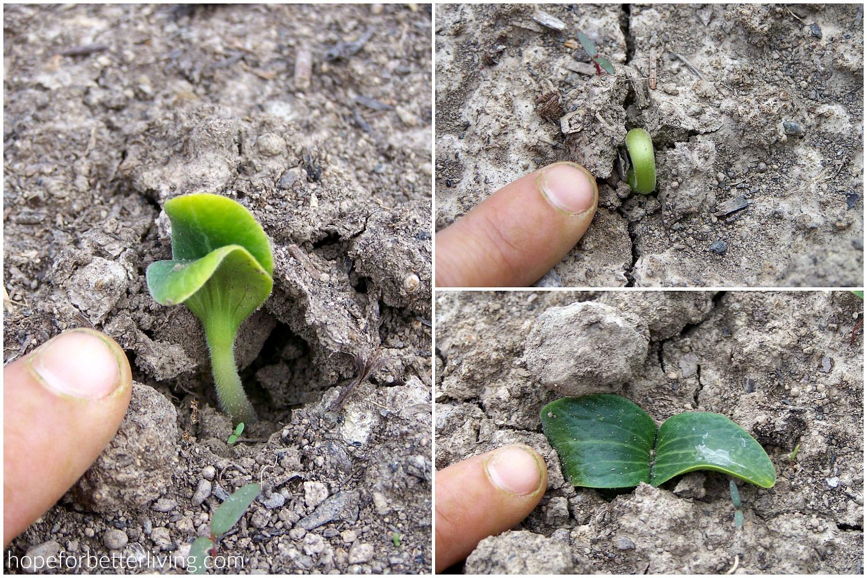 Seedlings popping through the garden soil