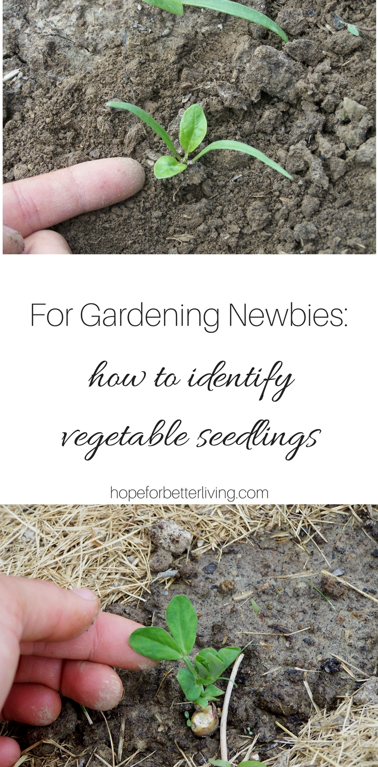 Whether you are a beginning gardener or are planting a new vegetable, it's important to know seedlings from weeds!