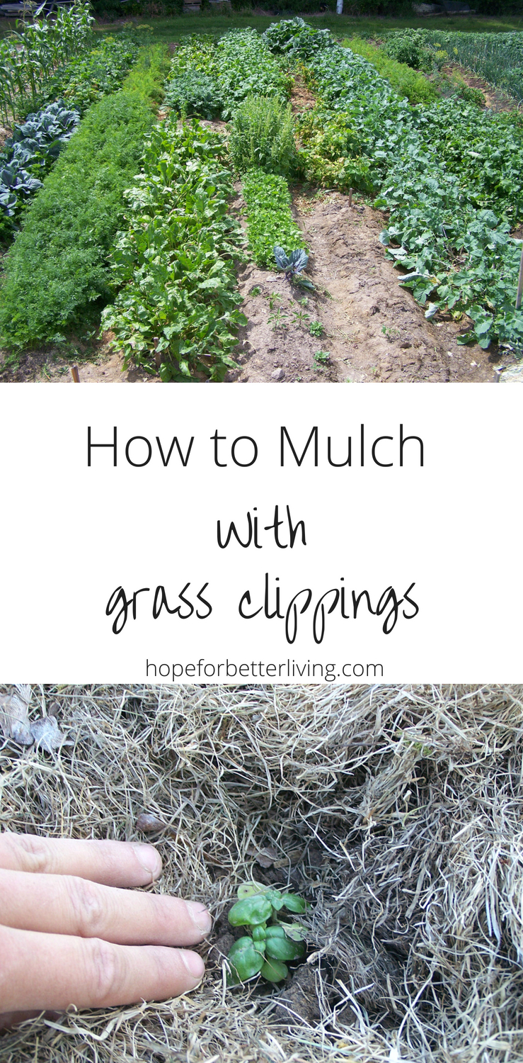 Grass clippings make a wonderful mulch for the vegetable garden! Here's how to go about it.