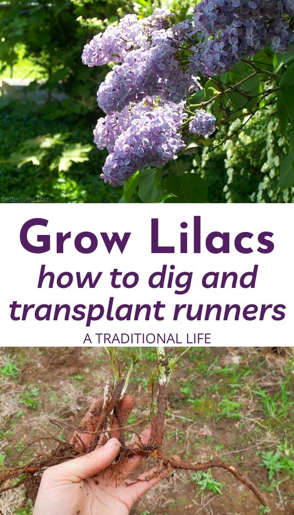 Learn how to dig and transplant lilac runners