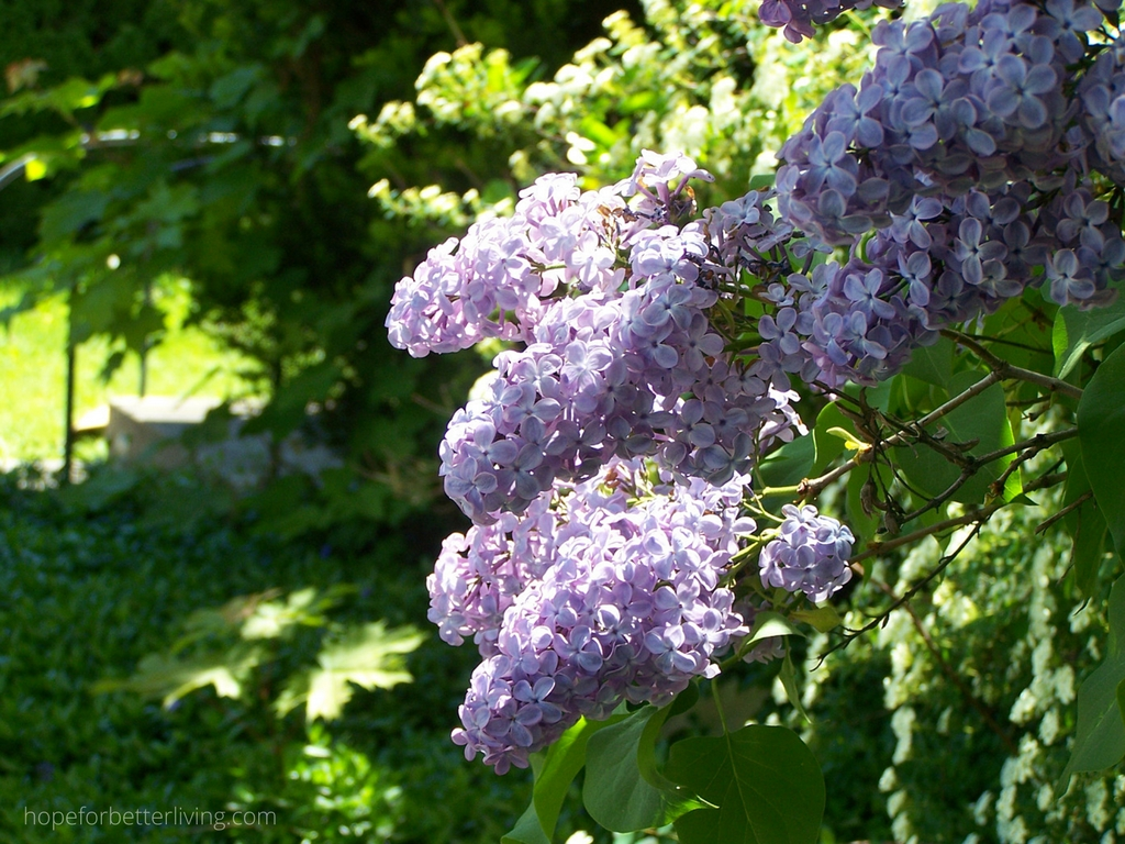 How to Grow Lilacs from Suckers