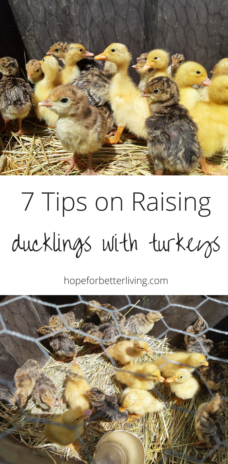 It is possible to successfully raise ducklings with turkeys! Here are 7 tips to help you succeed!