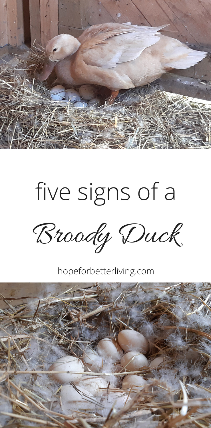 Wondering if your hen is serious about brooding? Here are five signs of a broody duck to guide you!
