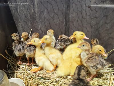 learn how to raise ducklings and turkeys together!