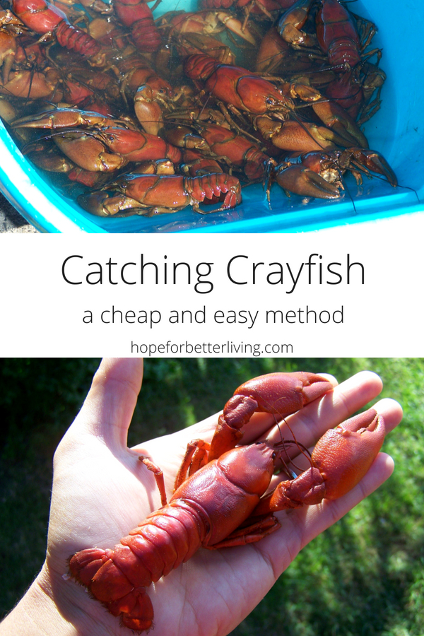 Catching crayfish is easy when you use this cheap and easy technique to fill your limit!