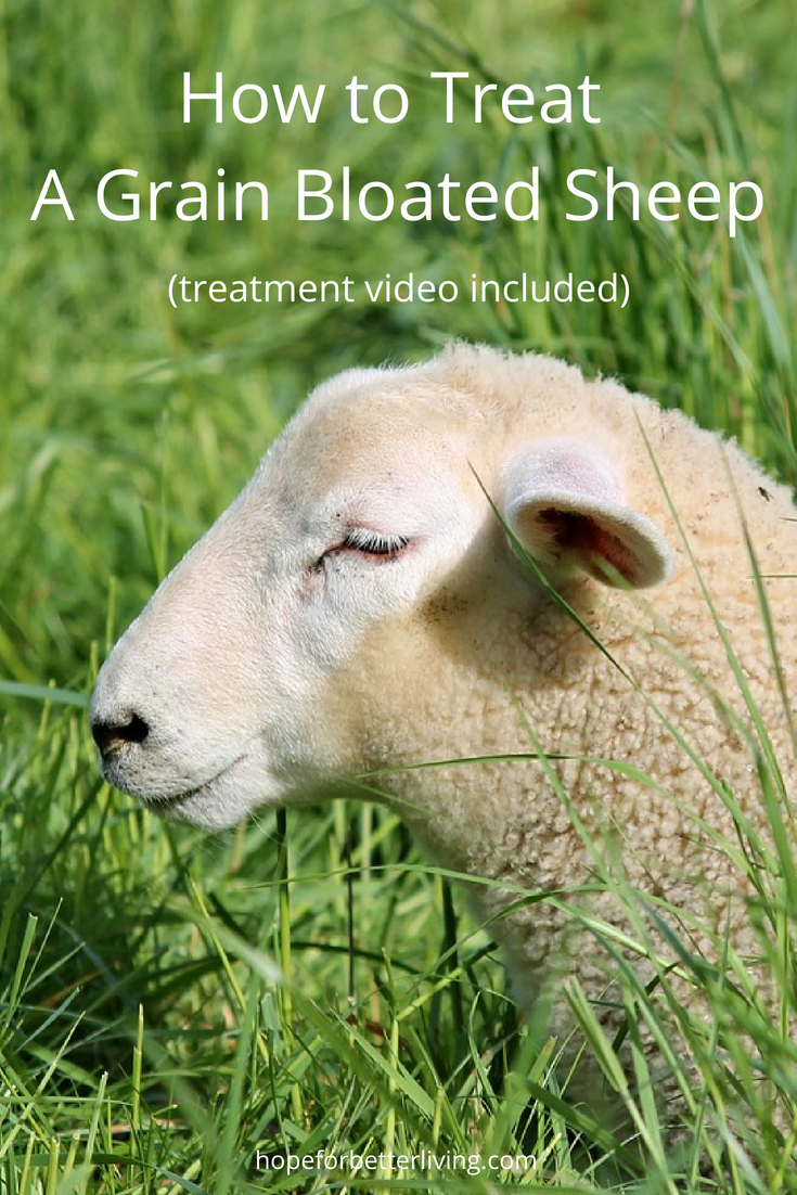 Grain bloated sheep will die unless treated. Here's a video tutorial to show you how!