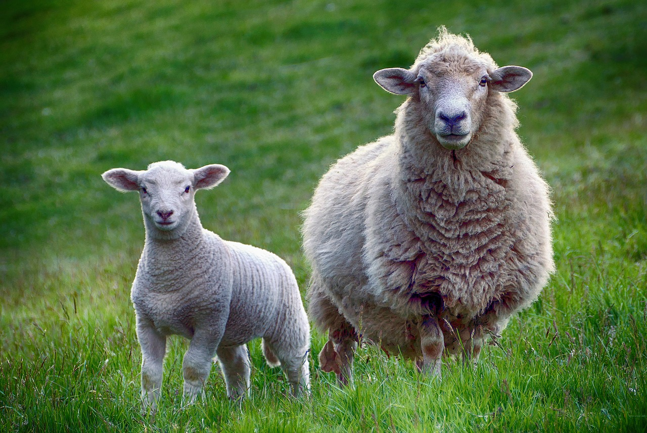 Grain Bloated Sheep: How to Treat Your Animals