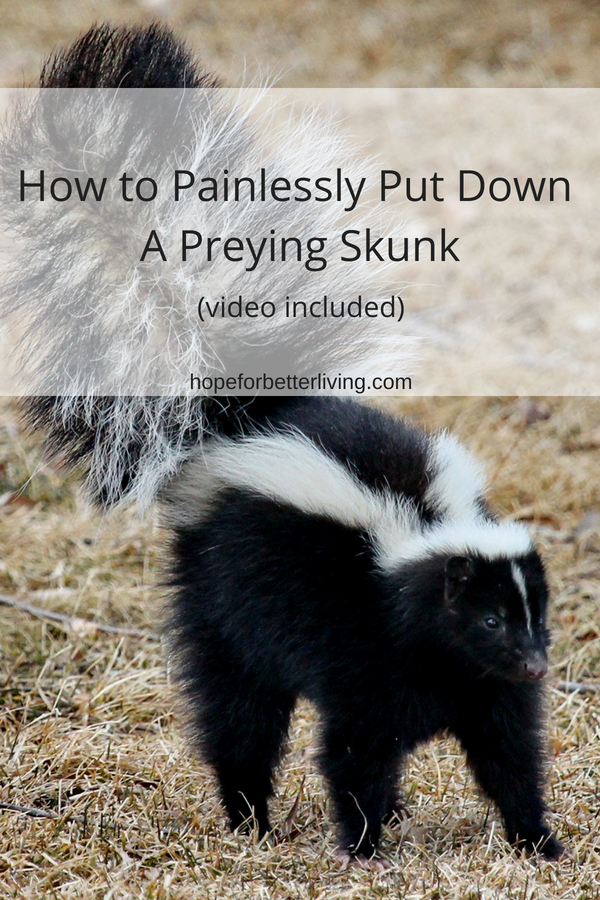 A skunk in the henhouse is no joke, especially when you have baby birds around! Here's how you can deal with a preying skunk.