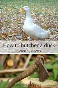 Learn how to butcher a duck by watching these vidoes for a step by step process.