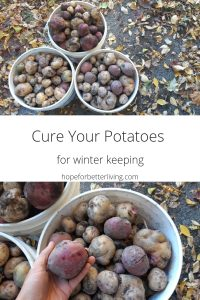 Get the longest storage life possible by curing your potatoes for winter keeping!