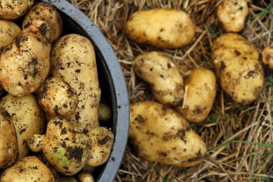 Russet potatoes in a filled container, ready to be cured