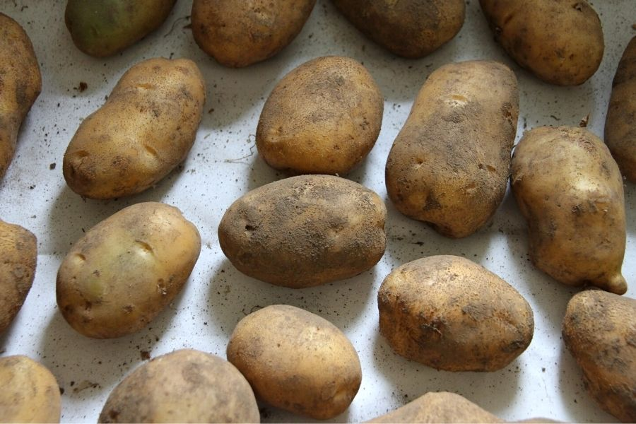 yellow potatoes laid out to cure on a drop cloth