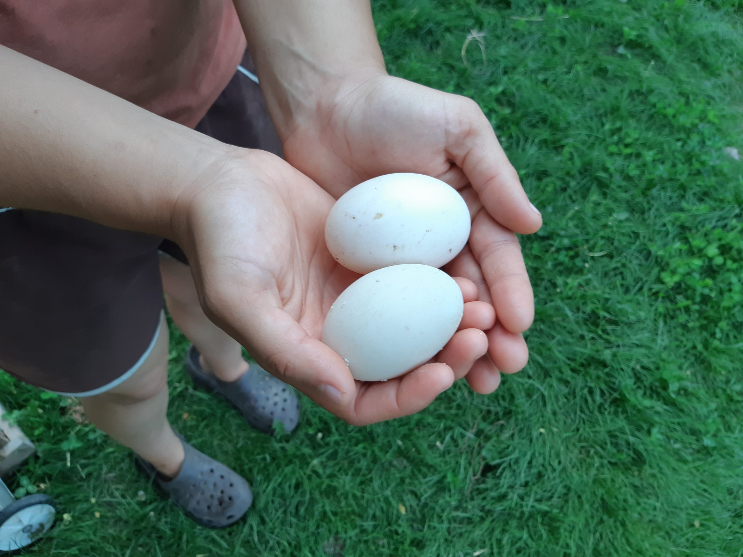 Farm fresh eggs held in the hands