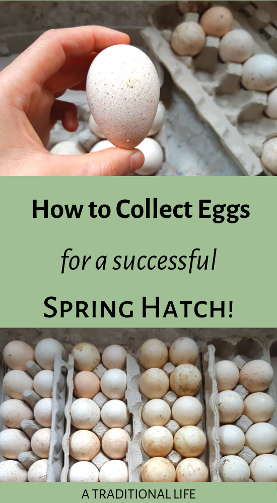 A successful hatch starts with properly handed hatching eggs. Here's what you need to know!