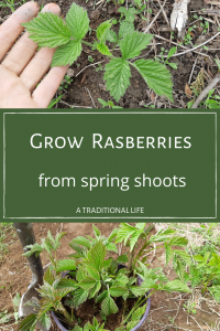 Raspberry Growing Tip-Save Money by Replanting Spring Shoots