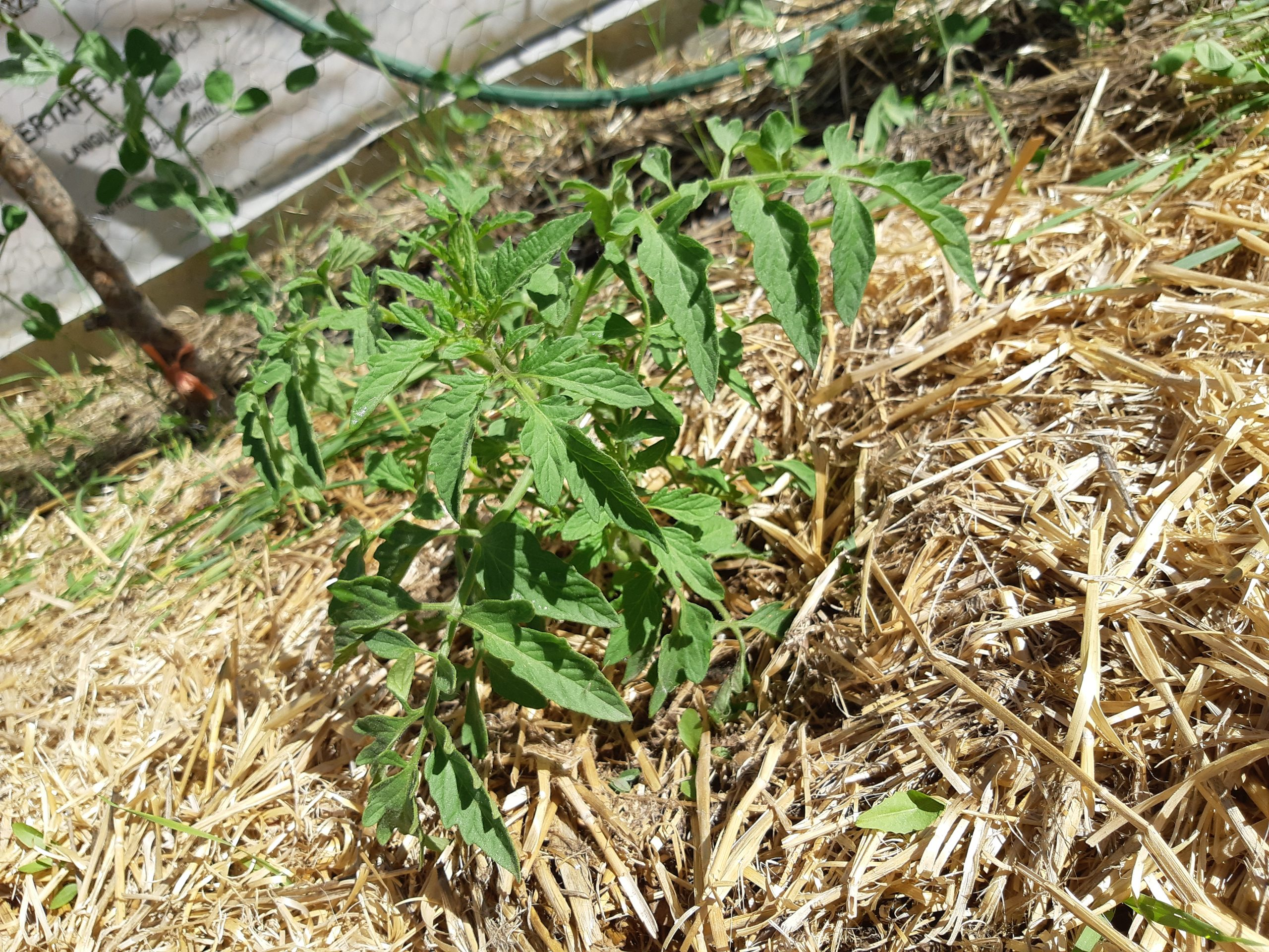 Homemade Liquid Fertilizer: A Tale from the Tomato Patch