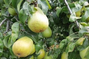 Winter Storage Pears on the Tree