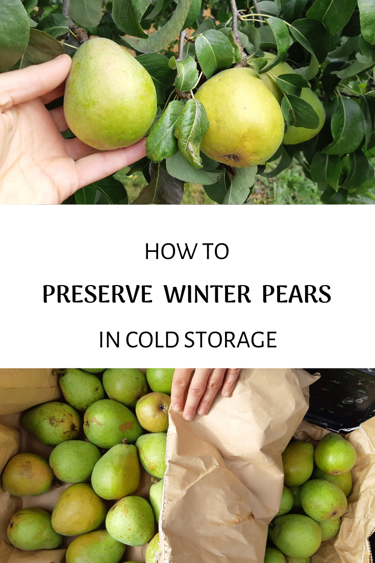 How to Harvest and Preserve Pears in Winter Storage