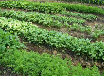 Growing vegetables in mini raised garden beds
