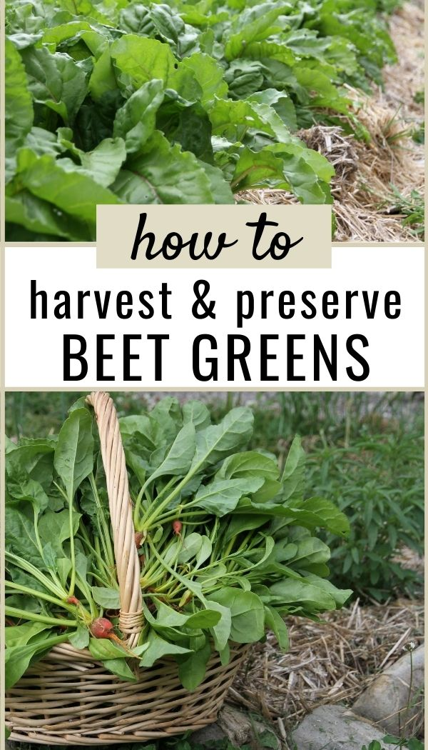 Learn to harvest not just the beet root, but also make use of the greens