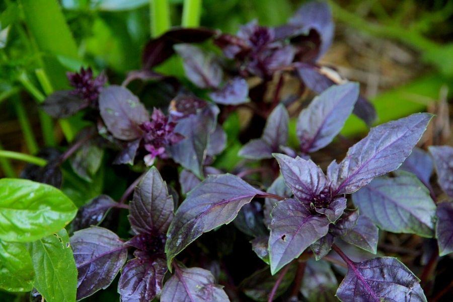 Purple basil growing in the hugelkutlar kitchen garden beds