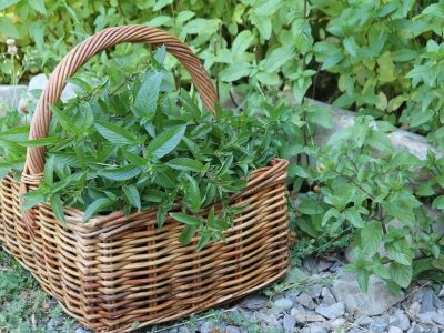 A basket of green, freshly harvested mint leaves