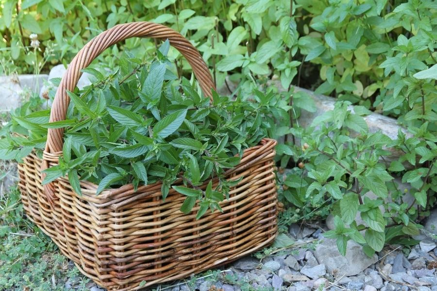 A basket of green, freshly harvested mint leaves