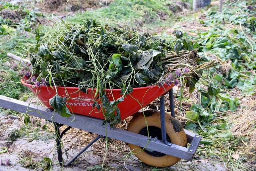 a wheel barrow filled with dead, wilting bean vines