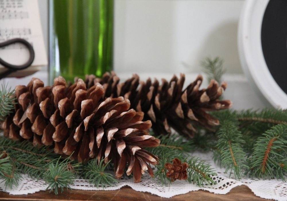 Large pine cones layout out on evergreen boughs