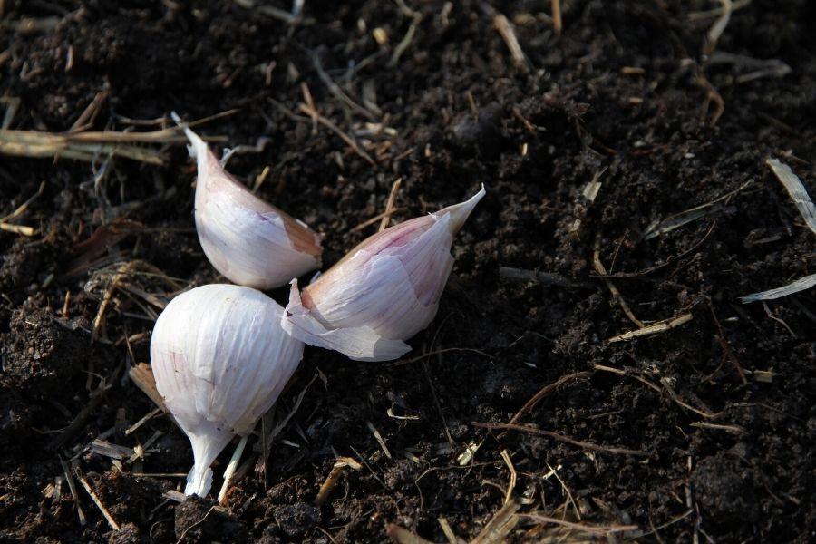 three garlic cloves lying on garlic soil, waiting to be planted