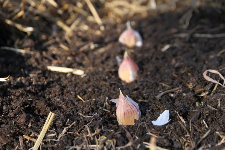 a row of russian red garlic planted in the soil