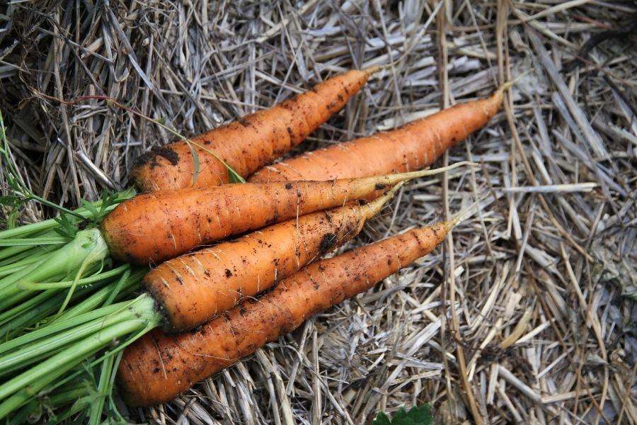Pulled carrots lying in a pile with fresh dirt still clinging to their orange roots
