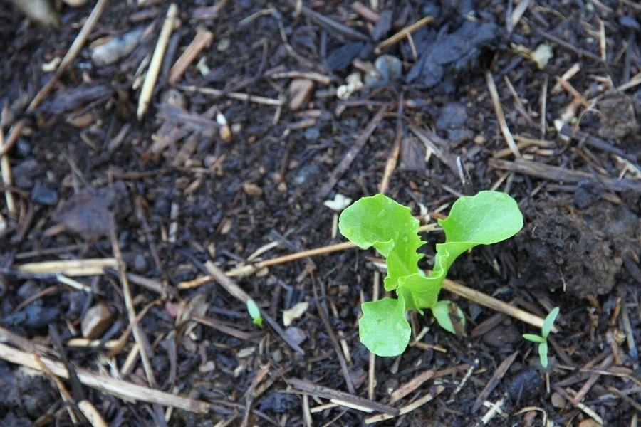 small lettuce start planted in fresh garden soil