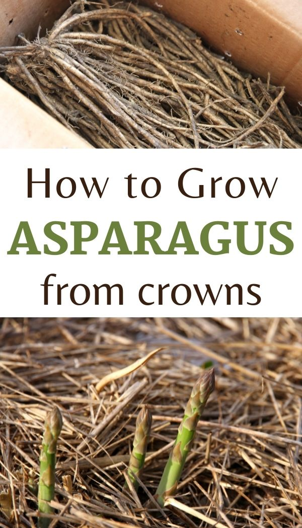 Learn how to grow asparagus from crowns in raised garden beds