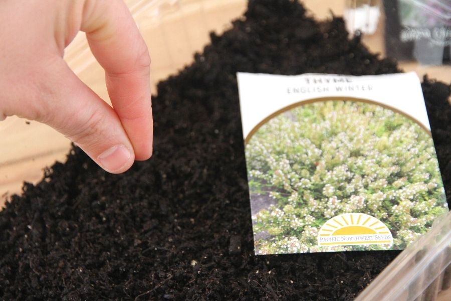 starting herbs from seed: planting thyme indoors