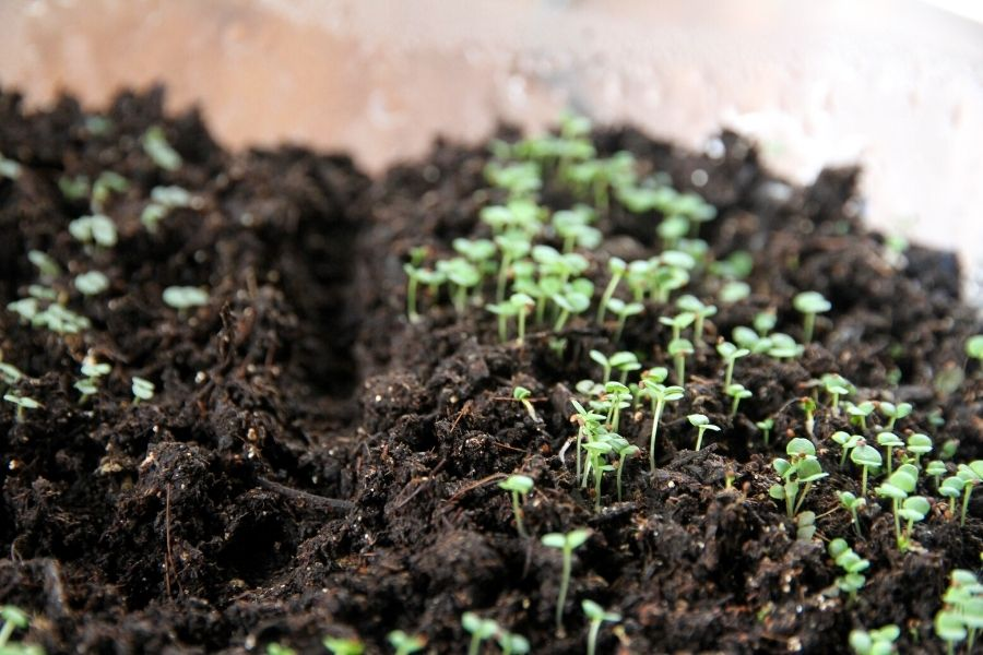 tiny green herbs started from seed