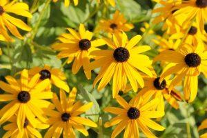black eyed susan flowers in the sunshine